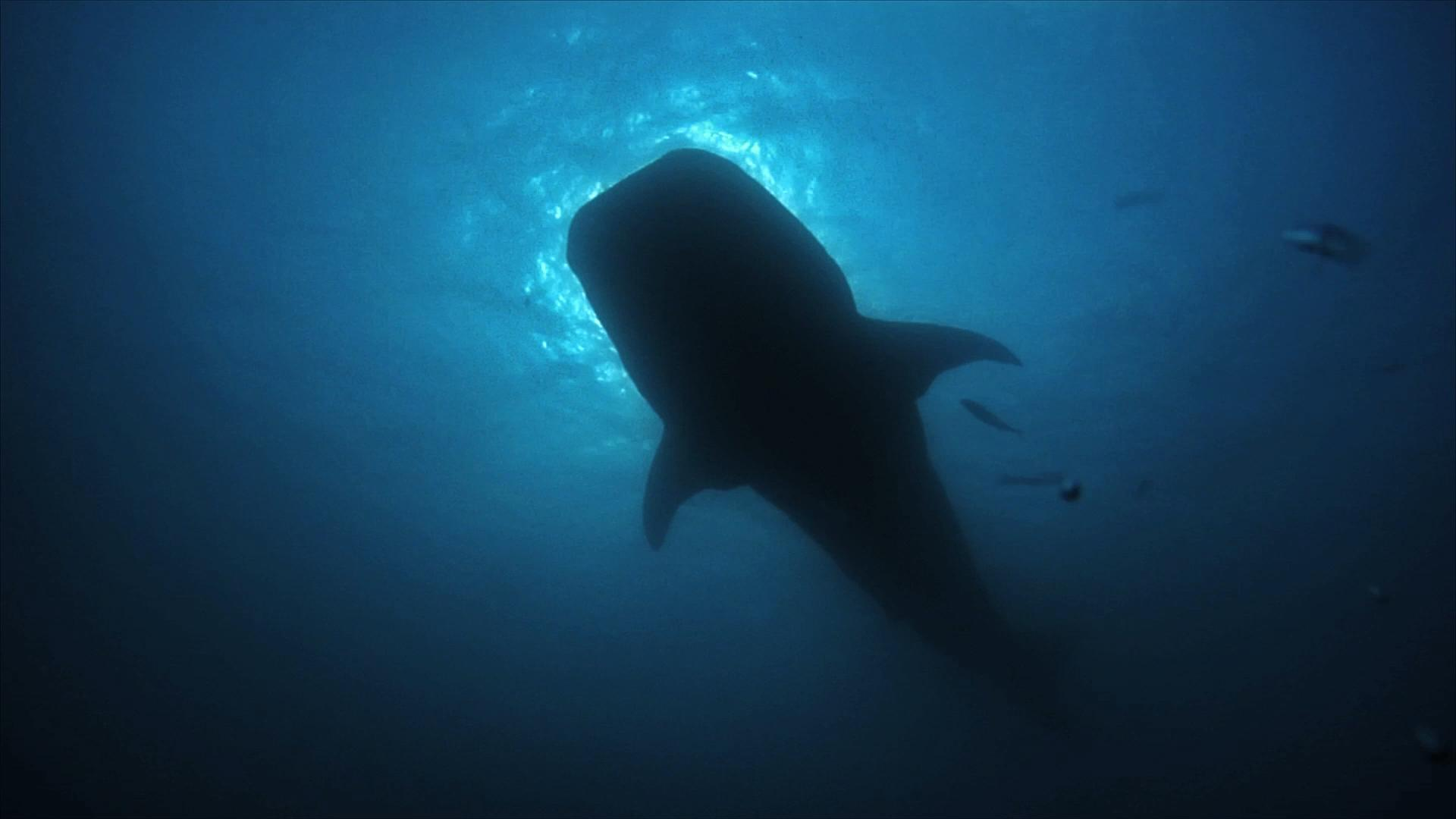 Whale Sharks are the largest fish in the world.